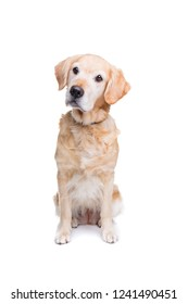 old labrador in front of a white background