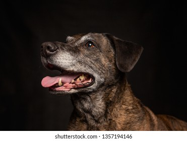 old labrador pit bull mix in a studio shot with an isolated black background