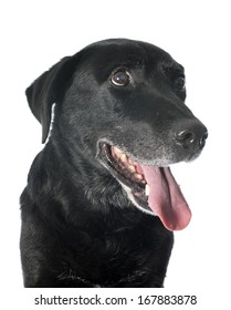 old  labrador retriever in front of a white background