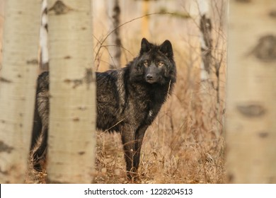 Old large black wolf hidden behind trees, Canada
