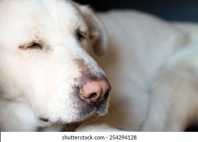 Old lazy Spanish Mastiff in doghouse closeup