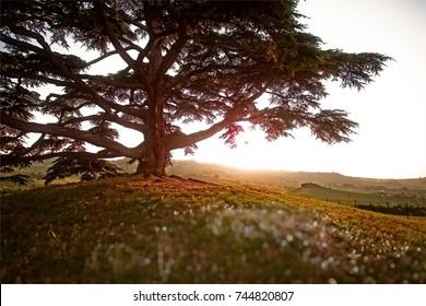 Old Lebanon Cedar