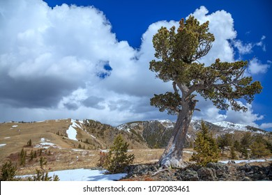Old limber pine in the Rocky Mountain foothills, Alberta, Canada