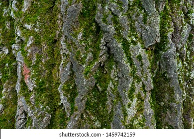 old linden bark covered with moss. relief bark resembles view high mountains wooded from above. texture old bark with moss. Very nice macro plan. moss on bark