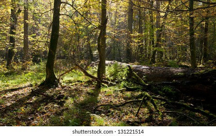 Old linden tree broken lying and sun above in autumnal landscape od deciduous stand