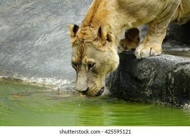 Old Lion eating water:Close up,select focus with shallow depth of field.