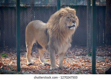 Old lion standing alert at the zoo in his cage