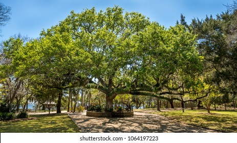 Old live oak tree in Florida in a park in St Andrews, The tree is named the Old Sentry.