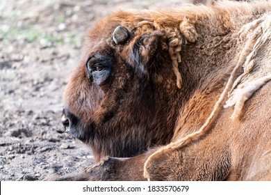 Old looking bison pull resting on the ground. Animal is in the middle of losing old fur. Close up image on buffalo. Big massive mammel. Native to america. Old looking animal