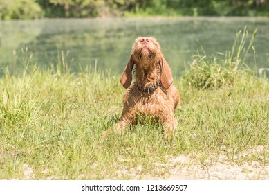 Old Magyar Vizsla dog. Dog is lying on a meadow and is looking up