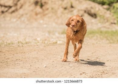 Old Magyar Vizsla dog is running