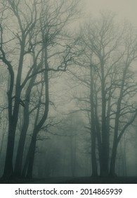 Old majestic trees in a gloomy fog.   Early foggy morning in the park in autumn, moody fog.
