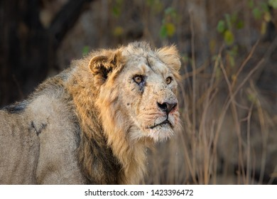 An old male Asiatic Lion (Panthera leo persica) close up of the head and shoulders, Gujarat, India