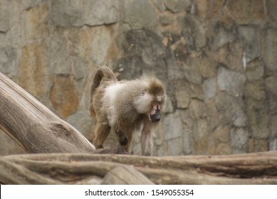 Old male baboon coming off the branch