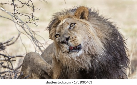 Old male lion with porcupine quills around the mouth scratching its ear