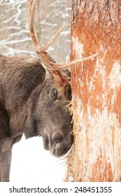 old male moose or elk bull damaging a tree with his antlers in winter forest