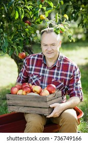 Old man with Apple in the Orchard. Grandfather with Organic Apple in the garden. Harvest Concept. Senior man pleased with apple harvest in autumn picking organic Apples into the wooden box
