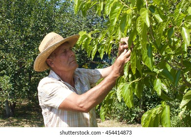 Old man picking mulberry from the tree