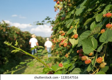 an old man and young man walking through a blackberry plantation overseeing the progress of fruit during summer season on a sunny day, blackberry bush closeup with people in the background