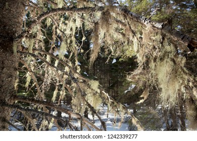 Old man's beard lichen, Usnea sp., hanging from branches in a snowy spruce forest in early spring near Rangeley, Maine.