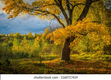 old maple-tree with mighty boughs and autumn yellowed leaves in evening light