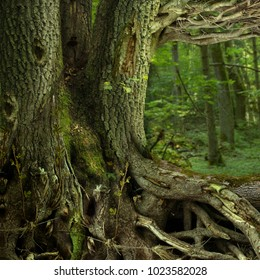 Old massive tree with weird crooked roots, branches and hollows in mysterious forest