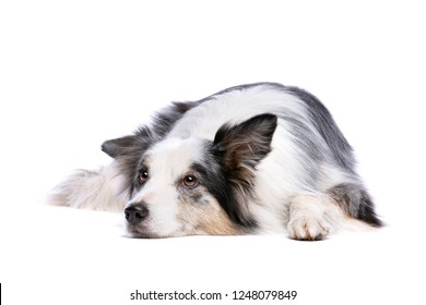 Old Merle border collie dog in front of a white background