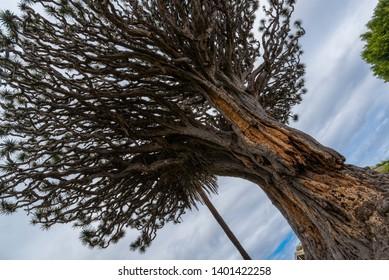 Old millenary Dragon Tree of Icod de los Vinos in Tenerife, Spain