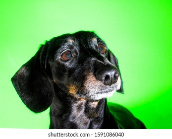 An old Miniature Dachshund portrait against a green screen background.
