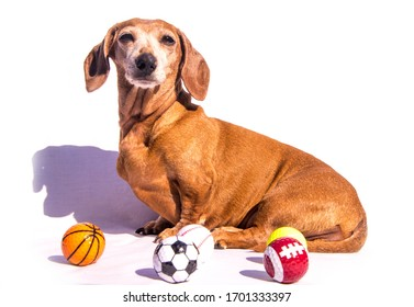 An old Miniature Dachshund sitting beside various sports balls, against a white background.