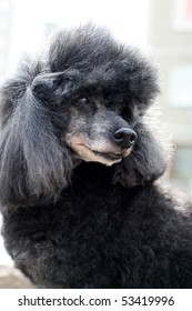 Old Miniature Poodle
