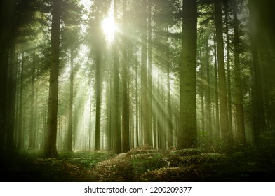 An old misty wood pine forest on a late autumn afternoon with warm sunrays illuminating the area.