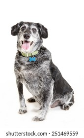 old mongrel dog with a blank blue badge on the neck on white background