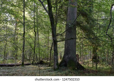 Old monumental norway spruce in front of juvenile hornbeams, Bialowieza Forest, Poland,Europe