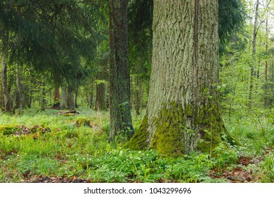 Old monumental oak tree in springtime, Bialowieza Forest, Poland, Europe