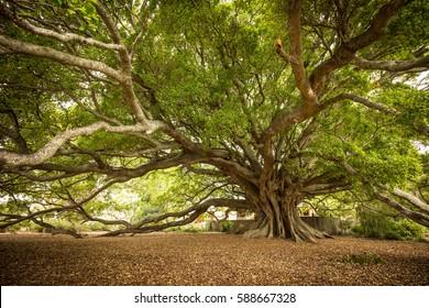 The Old Moreton Bay Fig, Milton, NSW