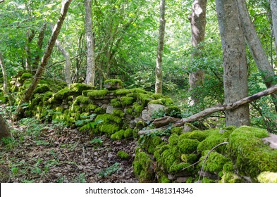 Old moss covered dry stone wall in a forest at the swedish island Oland