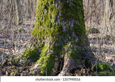 Old moss covered oak tree trunk in a swedish nature reserve at the island Oland
