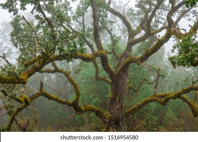 An old moss covered Oak tree on a misty day at Fremont Peak State Park, in the Gabilan Mountain range, in Monterey and San Benito Counties, a short drive from San Juan Bautista, in central California