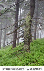 Old moss-covered spruce trees in the mountains surrounded by fog