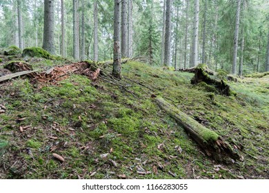Old mossy coniferous forest ground