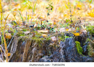 old mossy stump in autumn forest, closeup shot