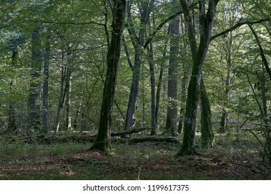Old natural deciduous stand in autumn with old oak and hornbeam tree,Bialowieza National Park,Belarus,Europe