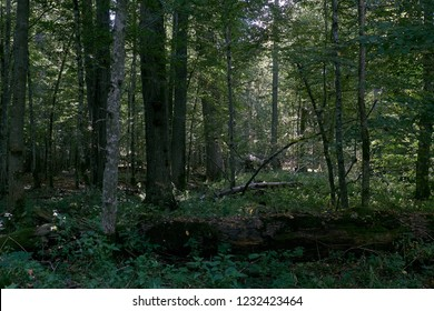 Old natural deciduous stand in autumn with old oak and hornbeam tree, Bialowieza National Park, Belarus, Europe