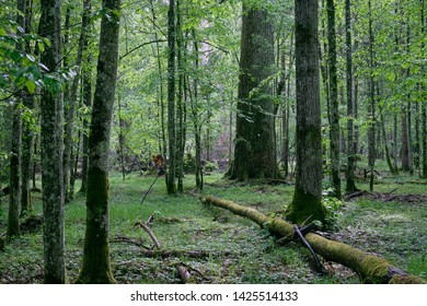 Old natural deciduous stand in spring with old oak and hornbeam tree,Bialowieza Forest,Poland,Europe