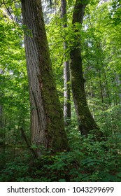 Old natural forest in summer morning with two old monumental trees in foreground, Bialowieza Forest, Poland, Europe