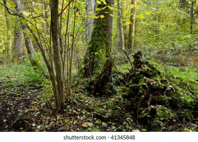 Old natural stand of Bialowieza Forest with rest of decline tree in foreground