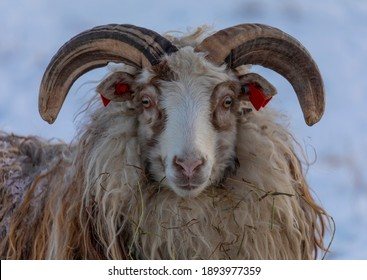 Old Norwegian sheep is a traditional sheep breed in Norway. The male has large horns.