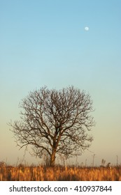 Old nut tree without leaves with the moon at dusk
