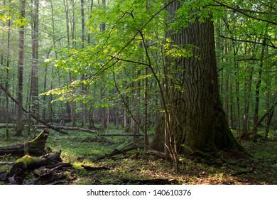 Old oak and hornbeam tree side by side in soft morning light